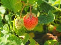 成熟草莓 从事园艺 两个莓果,一红色,另一wh 图库摄影