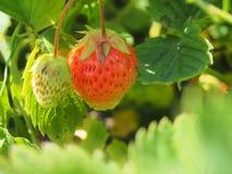 成熟草莓 从事园艺 两个莓果,一红色,另一wh 免版税库存照片