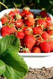 成熟草莓 免版税库存照片