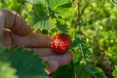 成熟草莓 库存图片