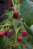 成熟莓在庭院里增长 库存图片