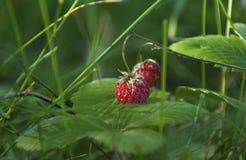 成熟莓果-草莓在森林里 免版税库存图片