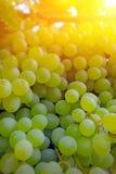 成熟葡萄准备好收获 库存照片