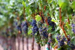 成熟葡萄园的红色 图库摄影