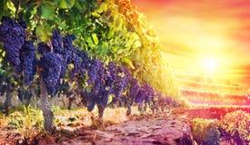 成熟葡萄在日落的葡萄园里 免版税库存图片