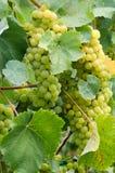 成熟葡萄在晴朗的藤围场 生长在藤的葡萄 免版税库存照片