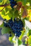 成熟葡萄在秋天 免版税库存图片
