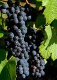 成熟葡萄在葡萄园里 免版税库存图片