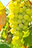 成熟葡萄在阳光下 库存图片