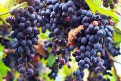 成熟葡萄摩尔多瓦。 图库摄影
