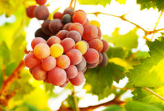 成熟葡萄束 免版税库存照片