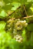 成熟葡萄的收获 库存照片