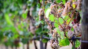 成熟葡萄英尺长度在灌木的在酿酒厂,改变景深 影视素材