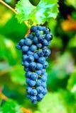成熟葡萄 库存照片