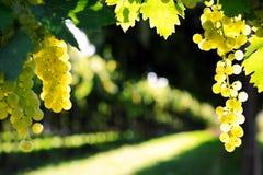 成熟葡萄 免版税库存图片