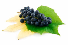 成熟蓝色束葡萄查出的叶子 库存图片