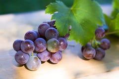 成熟蓝色的葡萄 库存照片