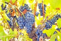 成熟蓝色葡萄在一个葡萄园里在葡萄牙 免版税库存照片