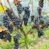 成熟蓝色葡萄在葡萄园里 库存图片