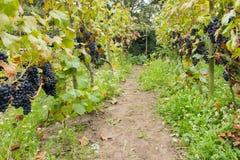 成熟蓝色葡萄在葡萄园里 免版税库存图片