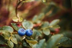 成熟蓝莓特写镜头在灌木的 图库摄影