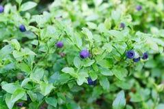 成熟蓝莓特写镜头照片在灌木的 库存照片