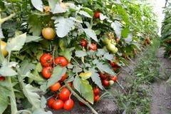 成熟蕃茄在庭院里 库存图片