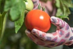 成熟蕃茄自温室 在手套的一只手 免版税库存照片