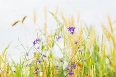 成熟谷物和野生逗人喜爱的杂草的金黄领域在一个领域在一个农场在一个晴朗的夏日,与谷物耳朵一起 免版税库存照片