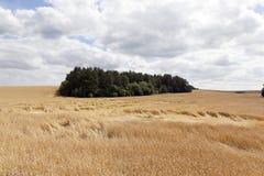 成熟谷物的领域 免版税图库摄影
