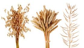 成熟谷物种植在白色背景和油菜隔绝的燕麦、麦子 免版税库存图片