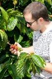 成熟豆咖啡检查的农夫 图库摄影