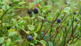 成熟越桔的灌木