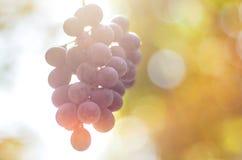 成熟酒葡萄在秋天在阳光下有迷离背景 库存照片