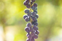成熟酒葡萄在秋天在阳光下有迷离背景 免版税图库摄影