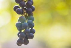 成熟酒葡萄在秋天在阳光下有迷离背景 库存图片
