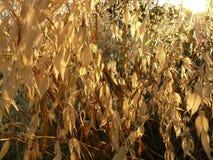 成熟野燕麦 免版税库存照片