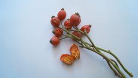 成熟野玫瑰果在冬天 免版税库存图片