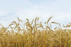 成熟金黄高钉成熟黑麦领域,反对蓝天的麦子 晴朗日的夏天 库存图片