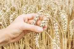 成熟金黄麦子耳朵在她的手上农夫 库存照片