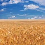 成熟金黄麦子耳朵的领域在多云蓝天的 图库摄影