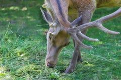 成熟雄鹿特写镜头画象与华美的鹿角的加冠 免版税图库摄影