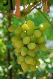 成熟鲜美白葡萄在分支增长 免版税库存照片