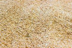 成熟麦子五谷 库存图片