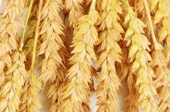成熟麦子关闭的耳朵 库存照片