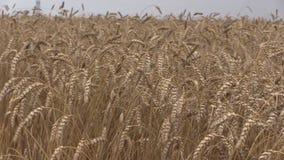 成熟麦子和组合收获鹳鸟飞行 全景 股票视频