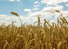 成熟麦子在蓝天下 库存照片