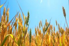 成熟麦子在蓝天和太阳下 免版税库存照片