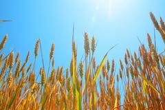 成熟麦子在蓝天和太阳下 免版税库存图片