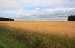 成熟麦子的域。 免版税图库摄影